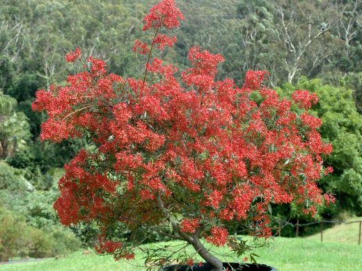 Christmas Bush - dwarf variety around 1 metre ceratopetallum-gummiferum_christmas-bush_johannas-christmas_1
