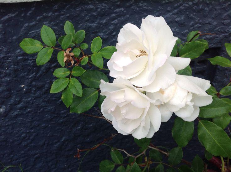 mums white roses!