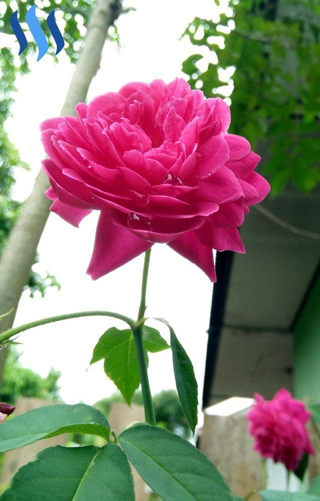 Gambar Bunga Mawar Yang Cantik Dan Indah Gambar Kedua Bunga Mawar Diatas Sangat Anggun Dan Menawan Cocok Bagi Anda Yang Seda Gambar Bunga Bunga Bunga Cantik