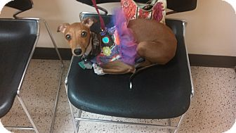 Argyle, TX - Italian Greyhound. Meet Alina in DFW Area, a dog for adoption. http://www.adoptapet.com/pet/11037582-argyle-texas-italian-greyhound