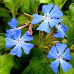 Vivace rampante à floraison bleue Le Ceratostigma plumbagoides est une très belle vivace tapissante aux nombreuses fleurs bleu gentiane réunies en bouquets. Les fleurs s'ouvrent en été et continuent sur l'automne. En automne, le feuillage caduc prend des teintes rouge vif et bronze. Les petites feuilles sont duveteuses. On le plante sans hésiter dans les talus et rocailles ensoleillés et dans un sol drainé. Le Plumbago rampant mesure 30cm de haut. Il est très ramifié et croît rapidement.