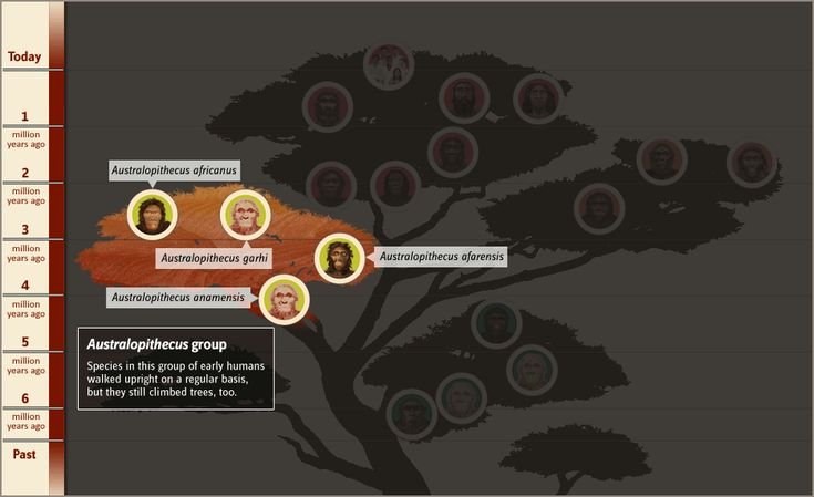 Interactive Human Family Tree: You can roll around and click on a specie's image to learn more! Focus on Austrolopithecus (afarensis and africanus), Homo (habilis, erectus, neanderthalensis, and sapiens).