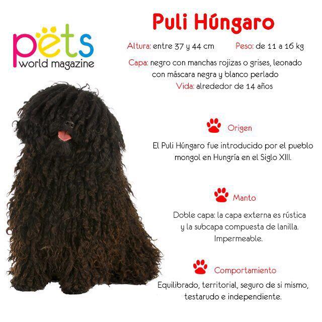 Razas de Perros: el Puli Húngaro fue introducido por el pueblo mongol en Hungría en el siglo XIII.  Es un perro equilibrado, territorial, seguro de sí mismo testarudo e independiente.  #PetsWorldMagazine #RevistaDeMascotas #Panama #RazasDePerros #Razas #PuliHungaro #Pilik #Mascotas #MascotasPty #MascotasAdorables #Perros #PerrosPty #PerrosPanama #Pets #PetsLovers #Dogs #DogLovers #dogoftheday #PicOfTheDay #Cute #SuperTiernos
