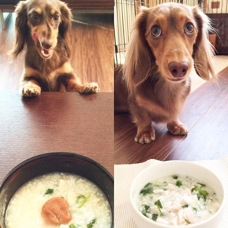 7 kinds of veggies in boiled rice as a tradition this morning.  今朝はみんなで七草粥食べたよー(_) 昨夜鶏肉茹でてそのスープで作ったからウマウマ茹でた鶏肉と七草を一家優先であげたらおばば分の具が少しに(-_-)しょうがないからおばばは梅干とはいお犬様笑 . #ダックス #短足部 #多頭飼い #チョコタン #チョコクリ #犬バカ部 #ワンコなしでは生きて行けません会 #おひとりさまワンコ部 #おひとりさまワンコごはん部 #癒しわんこ #犬ごはん #dachs #dachshund #dogsofinstagram #dachstagram #instadachshund #doxie #ふわもこ部 #エンジェルわんず倶楽部 #七草がゆ