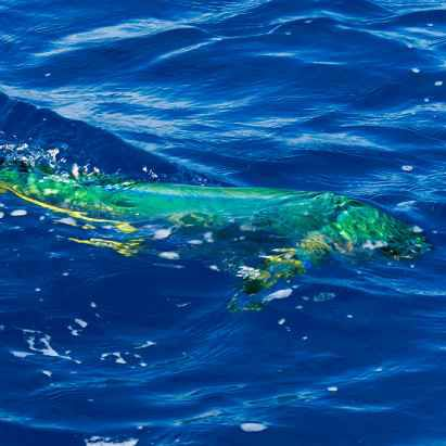 15 best mahi mahi images on pinterest mahi mahi fish for Best saltwater fishing times