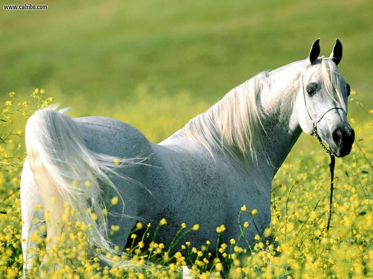 The Arab, the most beautiful horse in my eyes :) sleek and majestic.<3Arabian Hors, Hors Pictures, White Horses, Desktop Wallpapers, Flower Fields, Hors Photos, Hors Pics, Yellow Flower, Hors Breeds