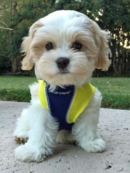 Havanese and Cavalier King Charles Spaniel Cross - what a sweetie...