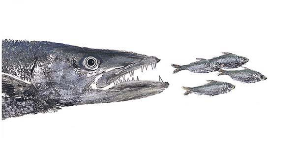 Barracuda Fish Eat Little Fishes Coloring Pages Best Place To