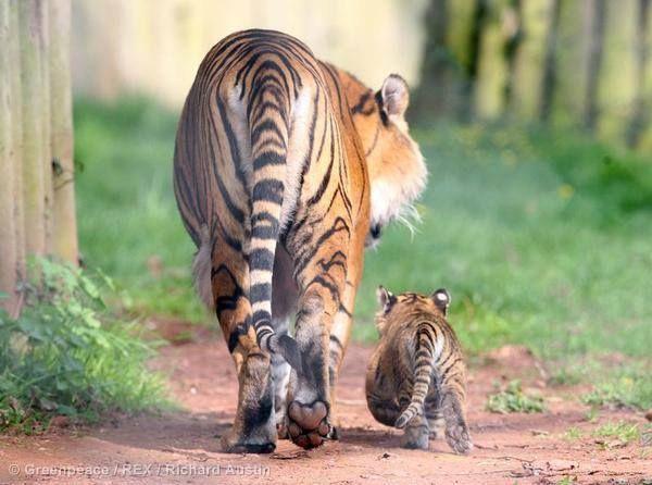 Ζήτα προϊόντα φιλικά προς τις τίγρεις: www.protectparadise.org #protectparadise #tigers #nature #mother