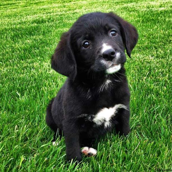 Labernese Puppies For Sale Greenfield Puppies Greenfield Puppies Labrador Puppies For Sale Lab Mix Puppies