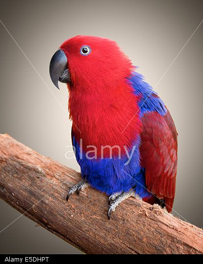 An Ecelectus parrot sitting on a branch, with a plain background