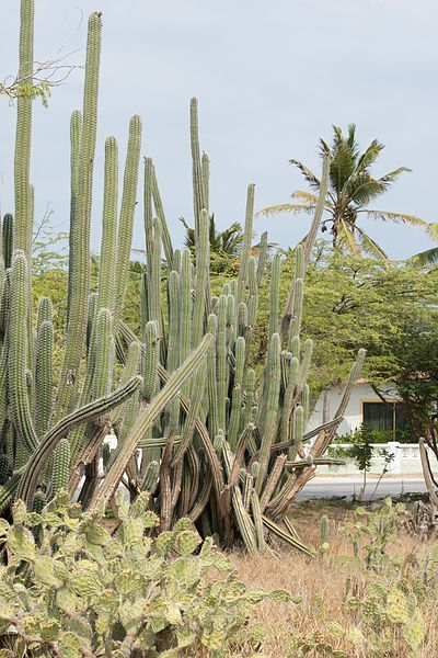 Yatu cactus growing in Aruba (constituent country of the Kingdom of the Netherlands)