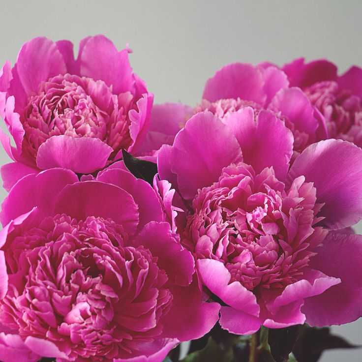 We're so excited that it's peony season! Whether you're already devoted to these beautiful blooms or need some more convincing, read through our top 4 reasons to love peonies…