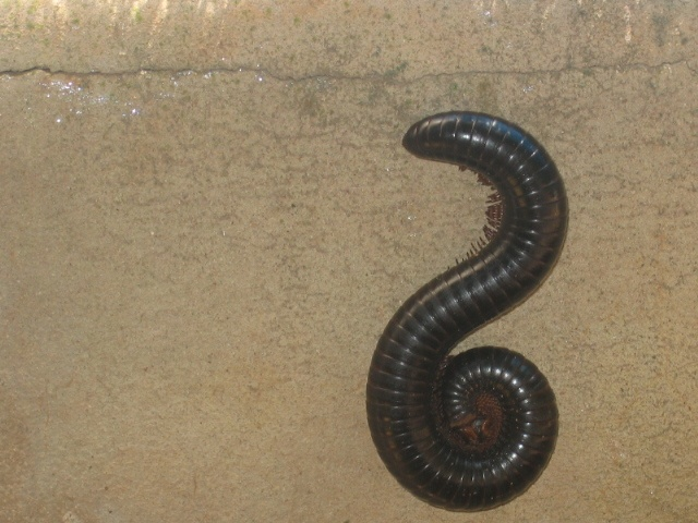 Shongololo (love that word!) of Duisendpoot or Millipede