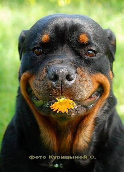 Love this smiling dog! Rottweiler
