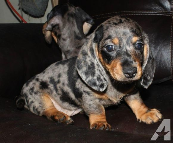 Purebred Mini Dachshund Dapple Smooth Sold For Sale In Camano Island Dapple Dachshund Dachshund Breed Dachshund Puppies For Sale