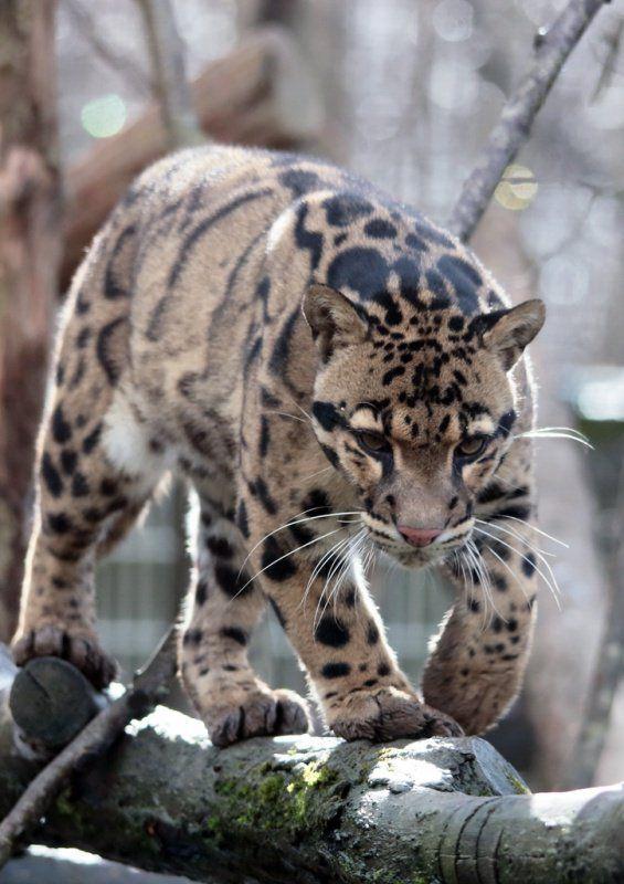 La panthère Nébuleuse ou Longibande de Taïwan, en voix d'extinctions ?