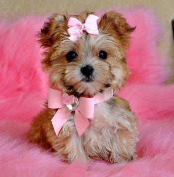 Tiny Teacup Morkie Puppy. ~ so adorable!Dogs, Teacups Yorkie, Spa Products, Pink Bows, Teacups Puppies, Adorable, Cutest Puppies, Yorkshire Terriers, Animal