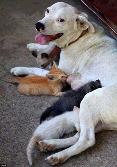 Melts my heart..Incredible loving Dog Mom, nursing kittens!!