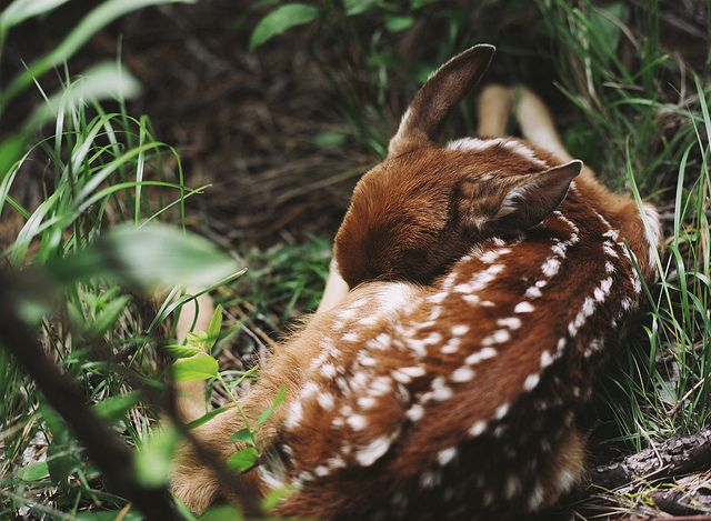 deer: Stunning Photography, Baby Deer, Animal Baby, Natural Beautiful, Animal Photography, Baby Animal, Little Animal, Sleep Baby, Baby Cat
