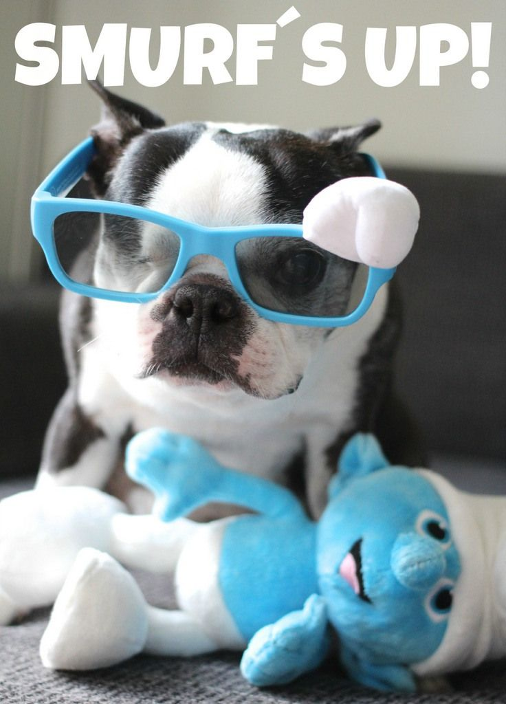 Take a closer look at Pepper´s glasses!! Do you see the SMURF hat??? LOL!! Boston terriers ROCK!