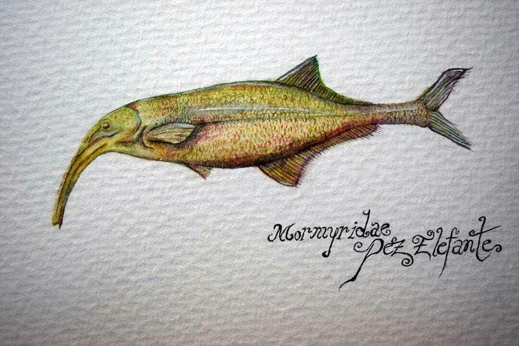 Pez Elefante Mormyridae. Ilustración Científica. Acuarelas. Oscar_ilustra