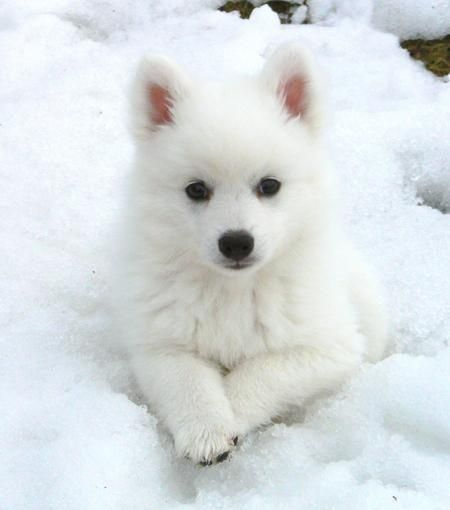 ❥ american eskimo this looks just like my  willow! I miss her so!
