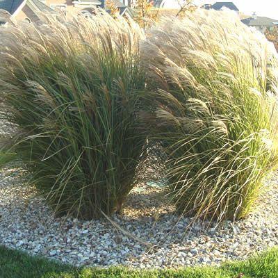 Maiden Grass in flower.  Maiden Grass - Miscanthus sinensis 'Gracillimus'