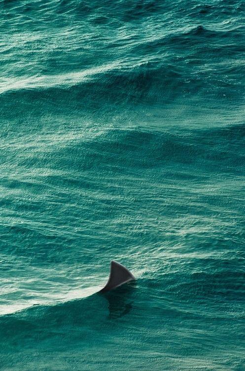 Superbe photo de l'aileron de requin fendant la surface