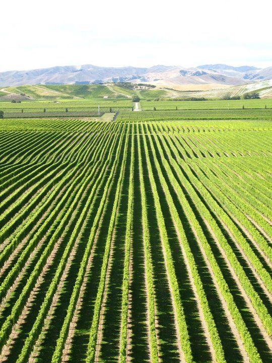 More vineyards in Marlborough, New Zealand