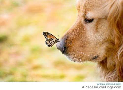 *: Dogs Nose, Sweet, Old Dogs, Natural Beautiful, Butterflies Kiss, Monarch Butterflies, New Friends, Photo, Golden Retriever