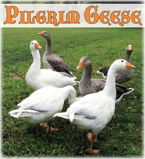 Pilgrim Geese: A Breed Overview from Backyard Poultry