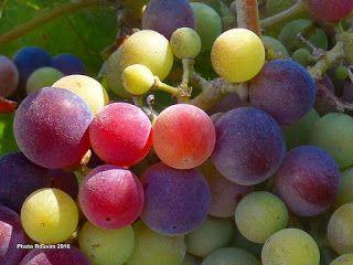 ΡΟΔΟΣυλλέκτης: Το σταφύλι: ο βασιλιάς των φρούτων και τα οφέλη το...