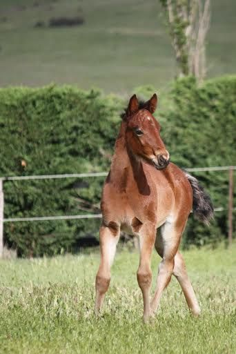 Majestic Son - Yes Indeed Standardbred Broodmare Foal Harness Racing Vicbred From Sue MacLean