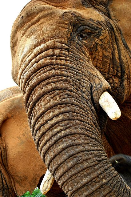 ^Elephant