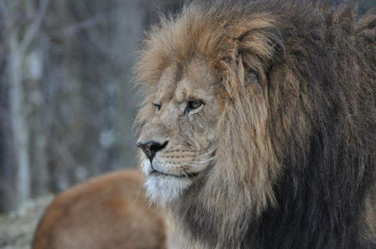 Lion, Dyreparken Kristiansand, Norway