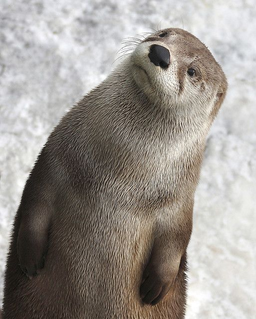 A curious North American river otter via @The Wilderness Society