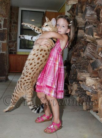 """Scarlett's Magic bred and raised by A1 Savannahs was the record holder for the largest pet cat in the world in 2010/2011. """"Magic"""" shown above at 18 month with Leonie Stucki."""
