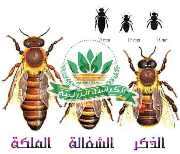 النحل هو أهم مخلوق على وجه الأرض اعرف السبب الكراسة الزراعية Bee Creatures 10 Things
