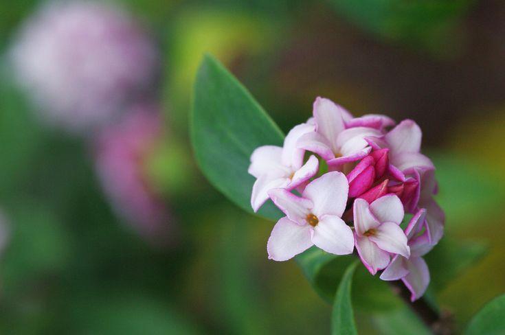 how to grow daphne odora