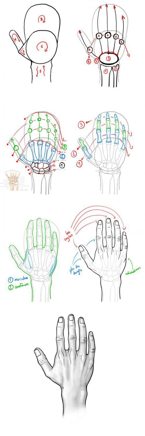 Tutoriel : dessiner la face dorsale de la main