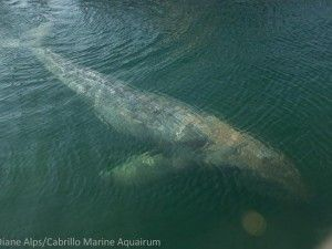 Can embattled gray whale make it home? - GrindTV.com