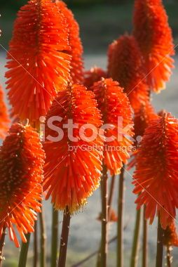'Red Hot Poker' or Torch Lily (Kniphofia Uvaria) Royalty Free Stock Photo
