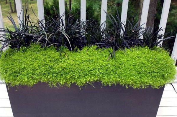 Window box for shad-black mondo grass and moss