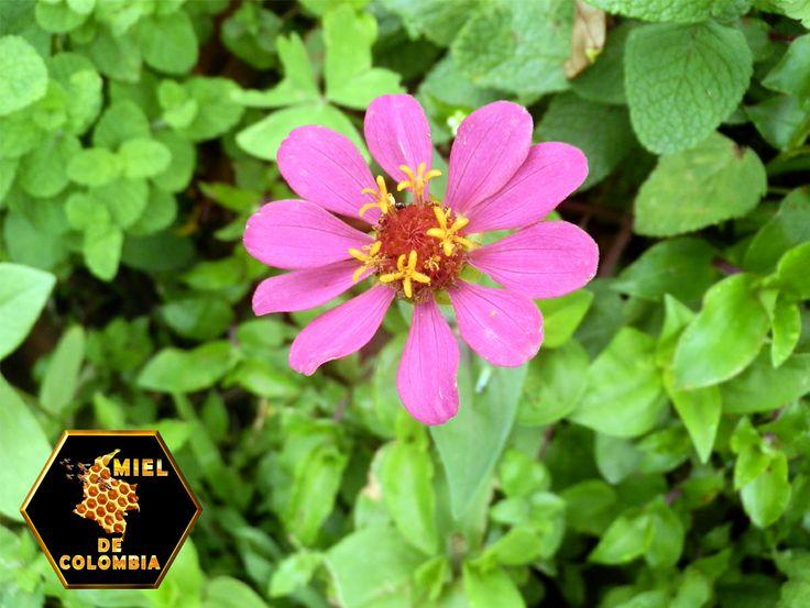 • La capacidad de vuelo de las abejas le permite visitar en forma fácil y periódica las flores de las plantas muchas veces por día y polinizar.  • Una colmena poblada puede tener entre 45 y 60 mil abejas listas para pecorear. • Todas las abejas, requieren de las plantas para sobrevivir pues su dieta básica depende del néctar (carbohidratos) y el polen (proteínas) que extraen de las flores.  • El 80 % de las plantas son polinizadas por abejas.