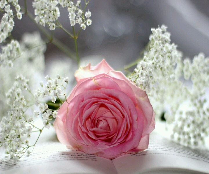 A Sweet Pink RoSe