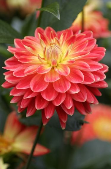Dahlia 'Dallas' - Feed your plants with GrowBest from http://www.shop.embiotechsolutions.co.uk/GrowBest-EM-Seaweed-Fertilizer-Rock-Dust-Worm-Casts-3kg-GrowBest3Kg.htm