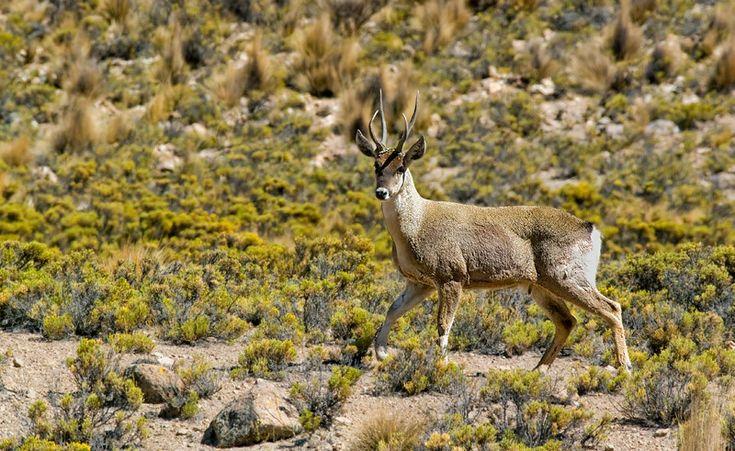 Taruca, North Andean deer