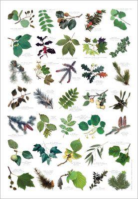 Tree leaf identifier