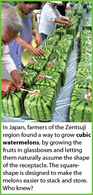 Growing square watermelons [OMG! They're Minecraft melons!! I have students that would LOVE these]